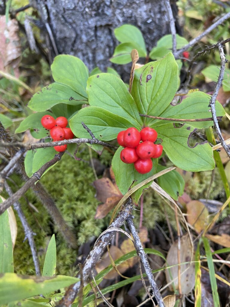 forest berries in Northern BC Canada