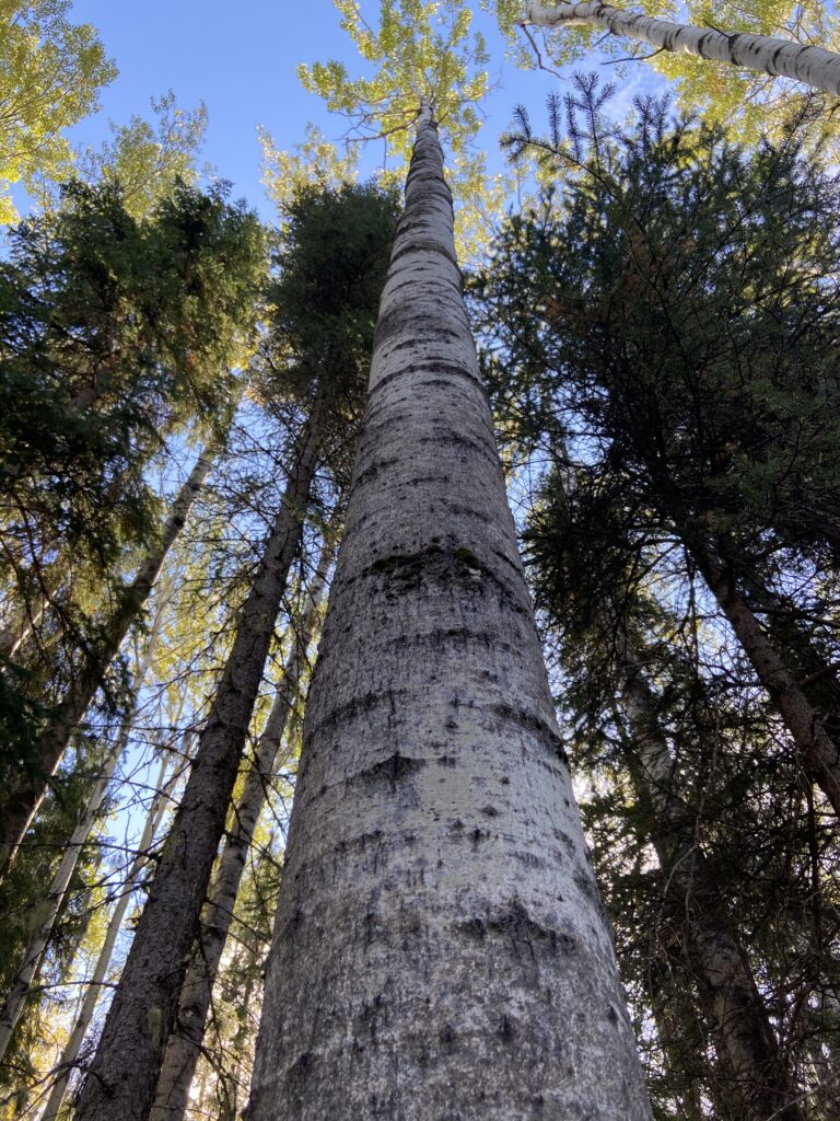 aspen trees in Fort Nelson forest management for wood pellets