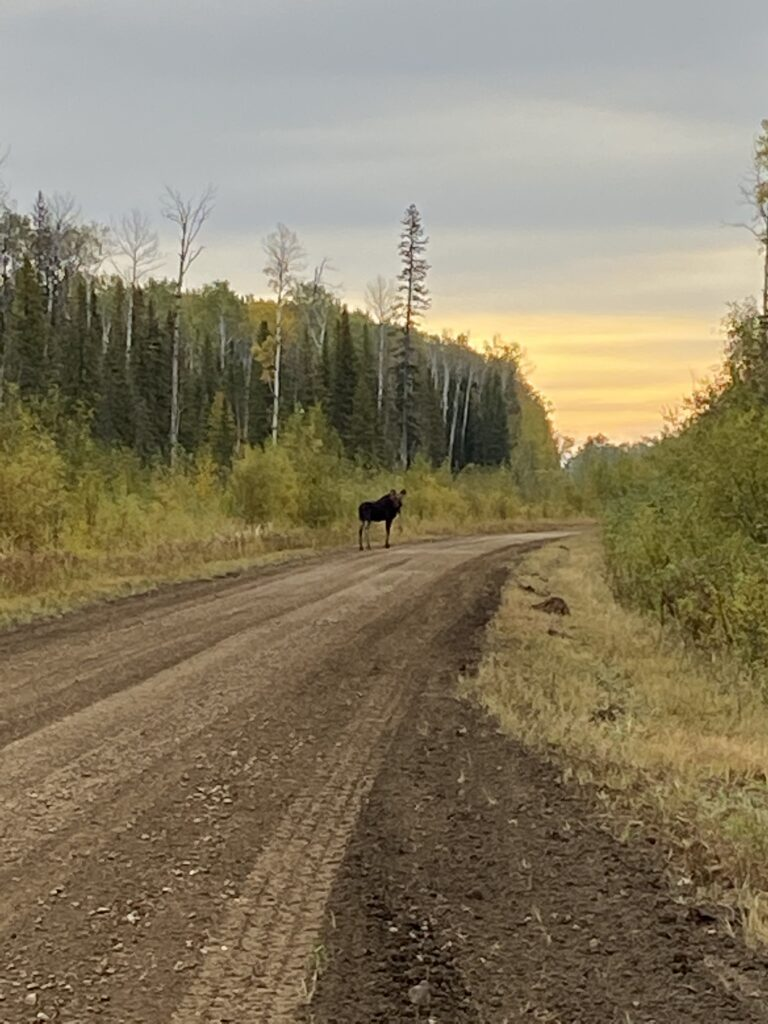 moose life in fort nelson forest management