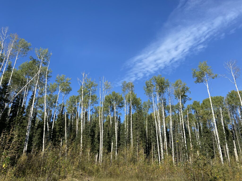 aspen trees in fort nelson first nation wood pellets