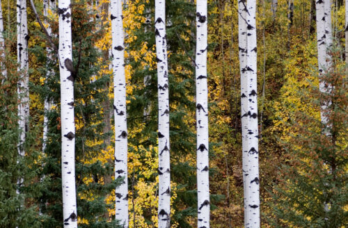 Northern BC trees include aspen, poplars, birch